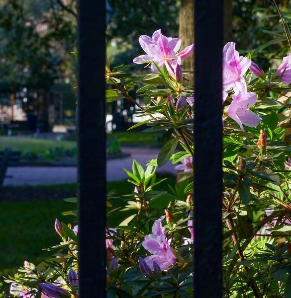 Blooming in Charleston